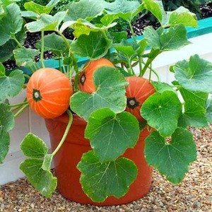 pumpkin_patio_windsor_22